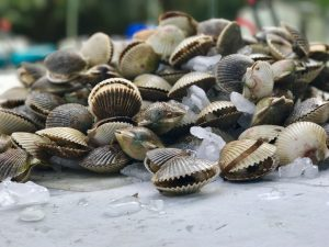 Scallops on table from a scalloping trip with adventure coast charters near hernando beach florida